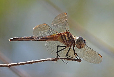 [Close side view of a female blue dasher dragonfly on the edge of a twig with it's mouth open such that it looks like it is smiling at the camera.]