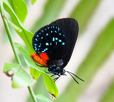 [This butterfly perched on a leaf has black wings. The lower wing has a three curved rows of irridescent light blue dots. There is also a square red section on the lower wing. The front part of the body is black with blue dots which appear to be a darker blue than the ones on the wings. The back half of the body is red-orange. The antennae are black and it appears the butterfly may have a forked tongue--or perhaps these are some type of short feelers.]