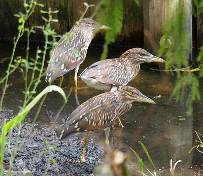 [Three young herons stand within a foot of each other all with their beaks facing to the right. Two are in shallow water and one in the mud. They are brown white and blue-grey with more brown than blue.]