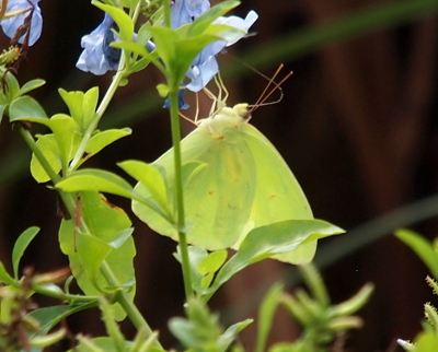 [A yellow butterfly with a few faint brown dots hangs from light-blue flowers. Its tongue is long and curved from its mouth to the center of the flower which contrasts the long straight antennae protruding from the butterflies head.]