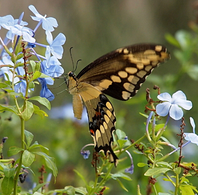 [A yellow and brown butterfly with a yellow body hangs from light-blue flowers. A section of its lower wing has orange and blue spots within a brown stripe. While the antennae are dark brown, it appears the legs are yellow.]