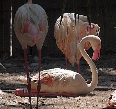 [The main flamingo in the image sits on the ground with the two halves of its legs completely parallel to each other and the ground. Its feet are also spread flat and they and the legs are nearly completely under the bird--only the back knees are easily seen. The flamingos white neck and head is curved into an ess shape. Its bill is bright pink.]