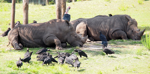 [Two rhinos are lieing on the grass in the shade of multiple trees. Part of a third rhino is visible behind the two in front. At least a dozen black vultures stand on the ground around the rhinos. A stork stands behind the rhino but its height makes most of its body visible. It has black feathers on its body and had a grey neck and head.]