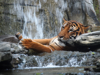 [The striped big cat is resting his head on some rocks while his front paws hold some rocks across from him. The rest of his body is not visible as it is vertically submerged in water. There's a waterfall behind him and a pool of water in front of him.]